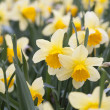 Blooming daffodils in garden — Stock Photo