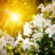 Speing flower with sunbeam — Stockfoto