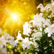 Speing flower with sunbeam - Stockfoto
