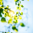 Green Betula leaves — Stock Photo