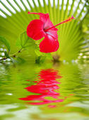 Closeup of flower reflected in the water — Stock Photo