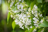 Fragrant lilac bush — 图库照片