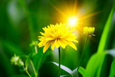 Flower with sunbeam — Stock Photo