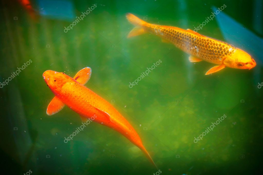 Koi fish in pond stock photo svetlana 2119201 for Koi pond price