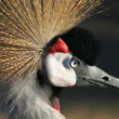 Crownedcrane — Stock Photo
