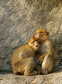 The monkey parent protects the child — Stock Photo