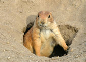 Prairie dog1 — Stock Photo
