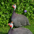 Stock Photo: Guinefowl