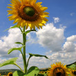 Sunflower1 — Stock Photo