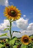 Sunflower1 — Stockfoto