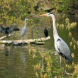 Heron — Stock Photo
