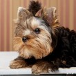 cachorro adorable yorkshire terrier — Foto de stock #1861536