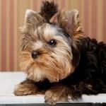 cachorro adorable yorkshire terrier — Stok fotoğraf