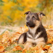 Stock Photo: Little GermShephard dog puppy in autumn scenery