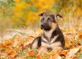 Little German Shephard dog puppy in autumn scenery — Stock Photo