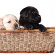 Two labrador retriever puppies portrait — Stock Photo
