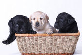 Three labrador puppies portrait — Stock Photo