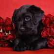 Black labrador puppy with red roses — Stock Photo