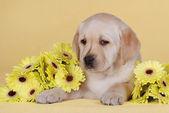 Yellow labrador retriever puppy — Stock Photo