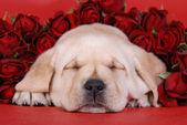 Labrador retriever puppy with red roses — Stock Photo