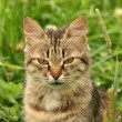 Grey cat in a green grass - Stock Photo