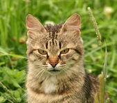 Grey cat in a green grass — Stock Photo