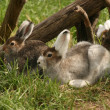 Hares lay in a grass — Stock fotografie