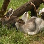 yabani tavşan bir çim lay — Stok fotoğraf