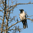 Stock Photo: Crow sits on branch of tree