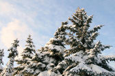 High fur-trees in a snow — Stock Photo