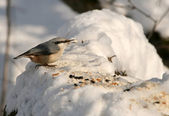 Nuthatch eats grain crumbs — Stock Photo
