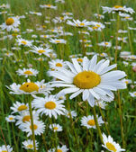 Camomiles in the field in the summer — Stock Photo
