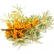 Branch of buckthorn berries - Stock Photo