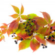 Twisted plant wild grapes — Stock Photo