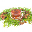 Medicinal coniferous plant - Stock Photo