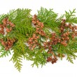 Thuja coniferous plant - Stock Photo