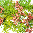 Thuja - Stock Photo