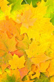 Background from autumn maple leaves — Stock Photo