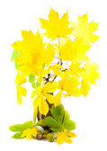 Maple with yellow bright leaves — Stock Photo