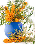 Medical and beautiful buckthorn berries — Stock Photo
