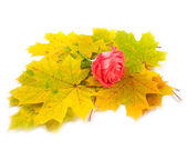 Scarlet rose and yellow autumn — Stock Photo