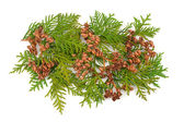 Thuja coniferous plant — Stock Photo
