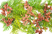 Thuja — Stock Photo