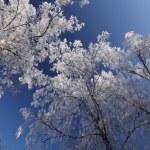 Winter trees — Stock Photo #1894522