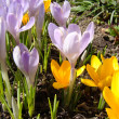 Stock Photo: Yellow and lilac crocus
