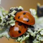 ������, ������: Two ladybug