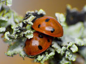 Two ladybug — Stock Photo