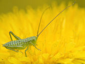 Young cricket eating pollen on yellow flower — Stock Photo