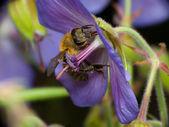 Rainha das abelhas — Fotografia Stock