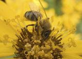 Queen of bees — Stock Photo